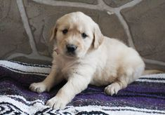 Breed: Golden Retriever Gender: Female Registry: AKC Personality: happy Date Available: Nov 19 2020 Say hello to Queenie! She is a sweet and loving Golden Retriever pupper from Grabill, IN. She loves to play, cuddle, and catch puppy snoozes. Queenie is AKC registered, vaccinated, vet checked, and can be shipped for an additional $475.00. HerRead More The post Queenie – AKC Golden Retriever pup for sale in Grabill, Indiana appeared first on VIP Puppies - Puppy Finder - Puppies for Sale…
