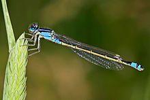 A male bluetail damselfly