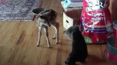 This Little Rescued Bear Cub Meeting A Fawn Is The Cutest Thing You'll See Today.