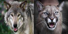 Gray wolf Vs Mountain lion fight