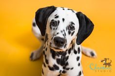 This pet photo gallery was taken by Leigh Demshar of Chewbone Studio and features our bold Marmalade Seamless Paper Backdrop. Puppy Litter, Dalmatian Dogs, Puppies And Kitties, Puppy Pictures, Dog Portraits, Mans Best Friend, Animal Photography, Dog Tags, Puppy Love