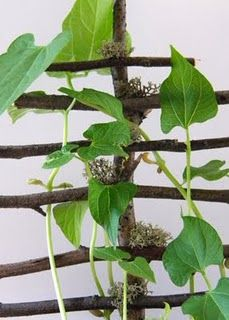 Magic bean stalk: make a trellis of twigs and put it in a pot. Germinate bean seeds overnight, then plant in the pot. You'll have a climbing bean in days. Great for #Kids to do. #Garden
