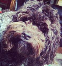 Cockapoo. Love this dog!