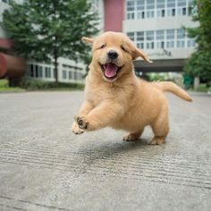 Best Of Cute Golden Retriever Puppies Compilation - Funny Dogs 2018 - Cute Puppies Videos Cute Dogs And Puppies, Baby Dogs, Doggies, Adorable Puppies, Pet Dogs, Cute Baby Animals, Funny Animals, Funny Dogs, Funny Puppies