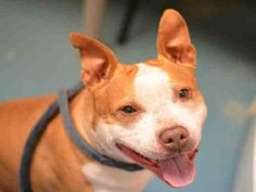 Brooklyn Center DALLAS – A1060362 FEMALE, TAN / WHITE, PIT BULL MIX, 2 yrs STRAY – ONHOLDHERE, HOLD FOR ID Reason STRAY Intake condition UNSPECIFIE Intake Date 12/12/2015, From NY 10302, DueOut Date 12/15/2015, Urgent Pets on Death Row, Inc