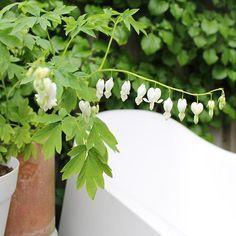 More garden loveliness... #mygarden #inmijntuin #gebrokenhartje #bleedingheart #dicentraformosa