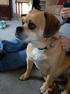 c16386f8fbadceee53375e63ee9112f1 minnie furry 76 best puggle dog holly furry daughter images puggle dog