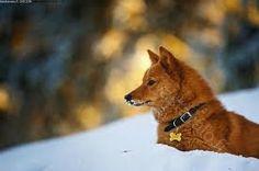 Finnish Spitz (Finnish national dog)