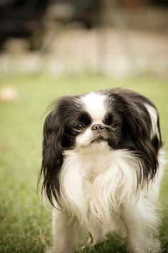 Search results for: japanese chin - handsomedogs