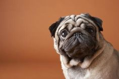 Pugs have incredibly large and loving eyes. Due to their prominence on a pug's face, it is important to take special care of the eyes to prevent infection, injury or irritation. This type of care can help keep the eyes healthy and clear from debris and other irritating particles. If an eye health concern does arise, you should consult your veterinarian for further evaluation.