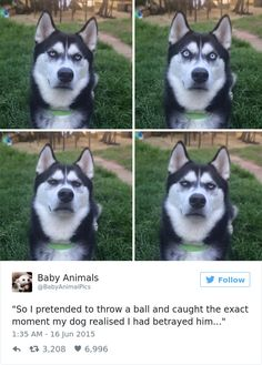 10+ Of The Most Hilarious Posts About Huskies Ever | Bored Panda
