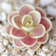 "Pinguicula esseriana - Mexican Butterwort Pinguicula esseriana is native to San Luis Potosi, Mexico. In its carnivorous state, the leaves form ""drool edges\"" so that dew won't slide off. Propagating Succulents, Growing Succulents, Cacti And Succulents, Planting Succulents, Cactus Plants, Garden Plants, House Plants, Planting Flowers, Air Plants"