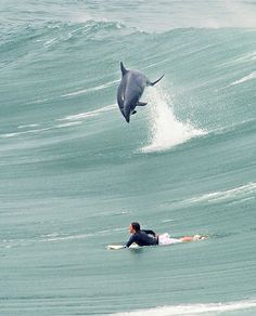 0e25c3243ca Surfing with dolphins is the best.- there are lots of places in australia  known for surfing with dolphins- around shark bay beach in australia