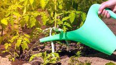 Fertilizarea cu iod la roșii, ardei, castraveți sau căpșuni Watering Can, Home And Garden, Canning, Gardening, Plant, Lawn And Garden, Home Canning, Horticulture, Conservation