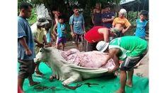 China: Kühe werden lebend gehäutet und ihre Beine werden abgehackt, damit sie sich nicht bewegen können! China: Cows skinned skinned alive for leather have their limbs cut off to prevent movement! - netzfrauen