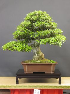 Bonsai Oak Tree | The Art of Bonsai Project - Feature Gallery: The Bonsai of Marou ...
