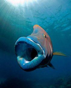 Napoleon Wrasse Cheilinus undulatus Cairns, Australia ► Discover Your World