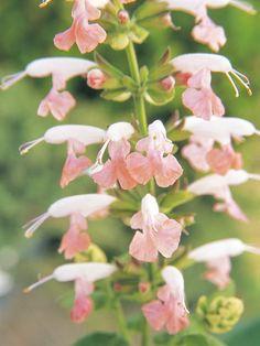 'Summer Jewel Pink' Salvia