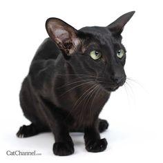 Black Oriental Cat.