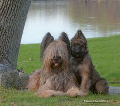 Briard / Berger de Brie Dog Puppy Briard Pinterest Dog