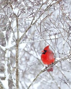 red cardinal in the snow.. I would watch out my window as a child and be in awe at this beautiful creature. <3