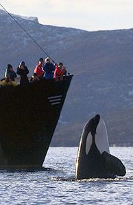 """Hey, look at me!"" Orca showing off where a ship stopped in Norway to watch killer whales in their natural environment... <3"