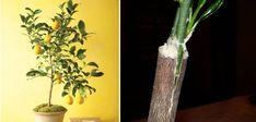 Cum se altoieste lamaiul pentru a face fructe Herbs, Plants, Gardening, Knives, Garten, Herb, Planters, Lawn And Garden, Garden