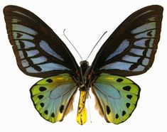 Ornithoptera priamus is a butterfly from Australasia / Indomalaya ecozone (Australia). The first description was in 1758 by Linnaeus. Linnaeus, Bluebirds, Dragonflies, Moth, Butterflies, Insects, Plastic, Treats, Kids