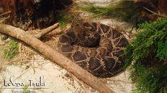 Slumbering Snake