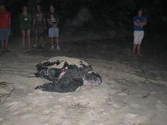 Leatherback Turtle / Holden Beach NC