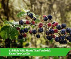 edible plants,edible wild plants,wild edible plants
