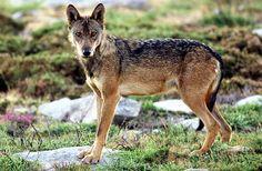 A Ecotura apresenta Na Hora do lobo um programa para o fim-de-semana de Páscoa, na Serra da Peneda   Escapadelas   #Portugal #Lobo #Peneda #Serra #Melgaco #Ecoturismo