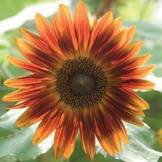 """Sunflower 'Little Becka': dwarf 24-36""""h, orange/gold blooms"""