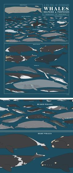 How do you herd almost ninety of the world's heftiest animals into a 1.5 x 2 foot rectangle? A range of marine mammals are grouped into their natural pods - and are drawn to scale, lest there be any confusion about who's top (aqua)dog in the ocean. #colossal