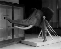 African Elephant head during the Edwardian period.