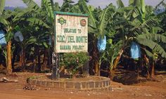 Cameroun: Abandon de la privatisation de la CDC, 2ème plus gros employeur après l'Etat - http://www.camerpost.com/cameroun-abandon-de-la-privatisation-de-la-cdc-2eme-plus-gros-employeur-apres-letat/?utm_source=PN&utm_medium=CAMER+POST&utm_campaign=SNAP%2Bfrom%2BCAMERPOST