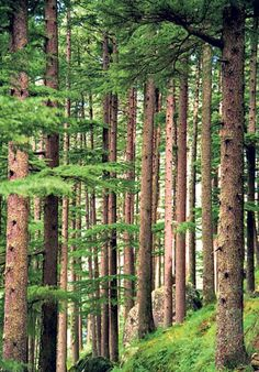 Deodar cedar Cedrus deodara   One of the most attractive of all conifers, this large evergreen tree, grows to 35m tall, originates from the western Himalayas. Very disease-resistant. The attractive drooping foliage is made up of whorls of dark green needles.  Picture: Alamy