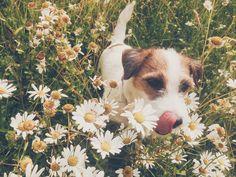 daisy milli is like a flower Corgi, Daisy, Cute, Flowers, Animals, Corgis, Animales, Animaux, Margarita Flower