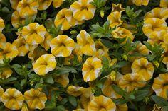 Superbells® Lemon Slice Calibrachoa  (New for 2013)