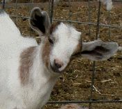 Great Forum about everything you'd every want to know about goats!