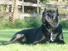 Black Presa Canario ...........click here to find out more http://googydog.com
