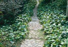 Kraftfull! Storbladig murgröna (Hedera hibernica) Städsegrön murgröna med mörkgröna, flikiga blad. Kräver utrymme och kan börja växa uppåt på staket, höga växter eller träd. Trivs: Vill ha en skuggig växtplats, passar bra under träd.
