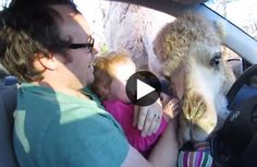 crazy camel and the little girl just laughs the whole time!