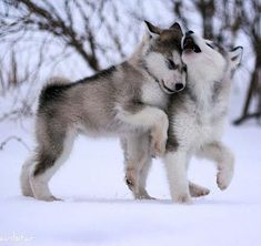 Baby wolves playing.