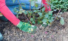 Rosen richtig pflanzen -  Rosen sollte man schon im Herbst pflanzen. Grund: Sie wachsen besser an und starten früher in die Saison. Hier sind die wichtigsten Pflanztipps.
