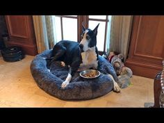Happy Great Dane Enjoys Dinner in her Bed - YouTube