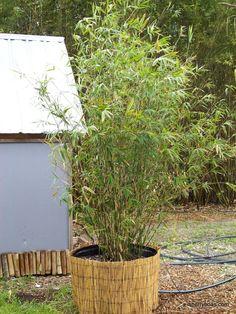 Golden goddess bamboo. Good in pots to create a screen.