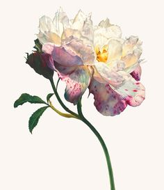 Rosie Sanders The summer's flower Watercolour on Arches 640gsm paper 35.62 x 30.31ins (90.5 x 77cm)