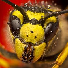 wasp in ya face!