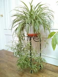 February 2015 - the growing season has begun for my spider plant! Some signs I've noticed: considerably denser foliage than last month; increased water usage (soil feels dry but I recall watering. Low Maintenance Indoor Plants, Chlorophytum, Decoration Plante, Inside Plants, Spider Plants, Bedroom Plants, Hanging Plants, Plant Care, Plant Decor